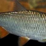 Рыба елец  особенности ужения и  поведения