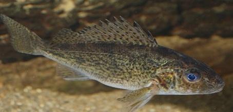 Рыба ерш ловля ерша