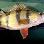 Рыбалка окуня и залог ее успеха