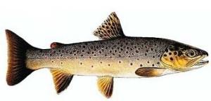 Рыбалка ручьевой форели
