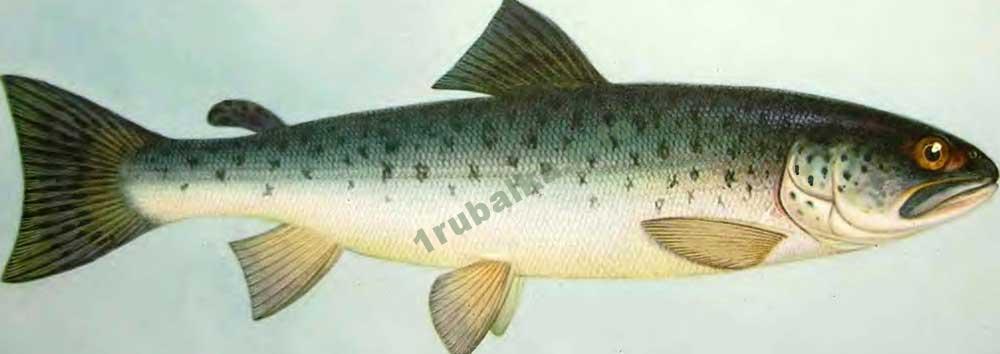 Рыбалка форели занятие настоящего аристократа