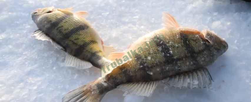 Зимняя рыбалка на окуня на балансир