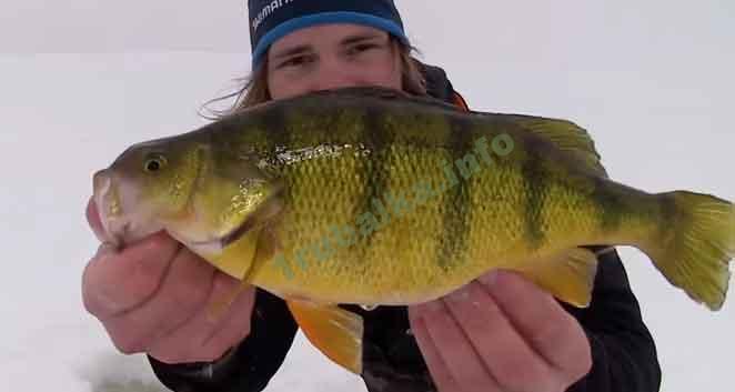 зимняя рыбалка окуня на мормышку