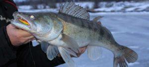 Ловля судака со льда