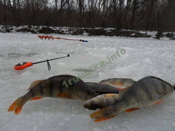 Ловля окуня на блесну зимой