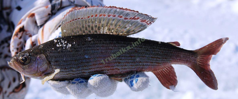 Ловля хариуса зимой на реках: где искать, какую снасть готовить, а так же советы и рекомендации опытных рыбаков