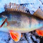 Блесна на окуня для зимней рыбалки